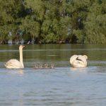 Familie de lebede in Delta Dunarii Foto: Nicky Predescu / Calator sau turist
